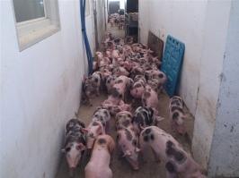 Schweine_12